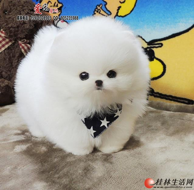 纯种哈多利球体博美犬多少钱一只