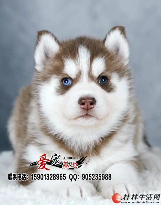 红色哈士奇幼犬多少钱一只
