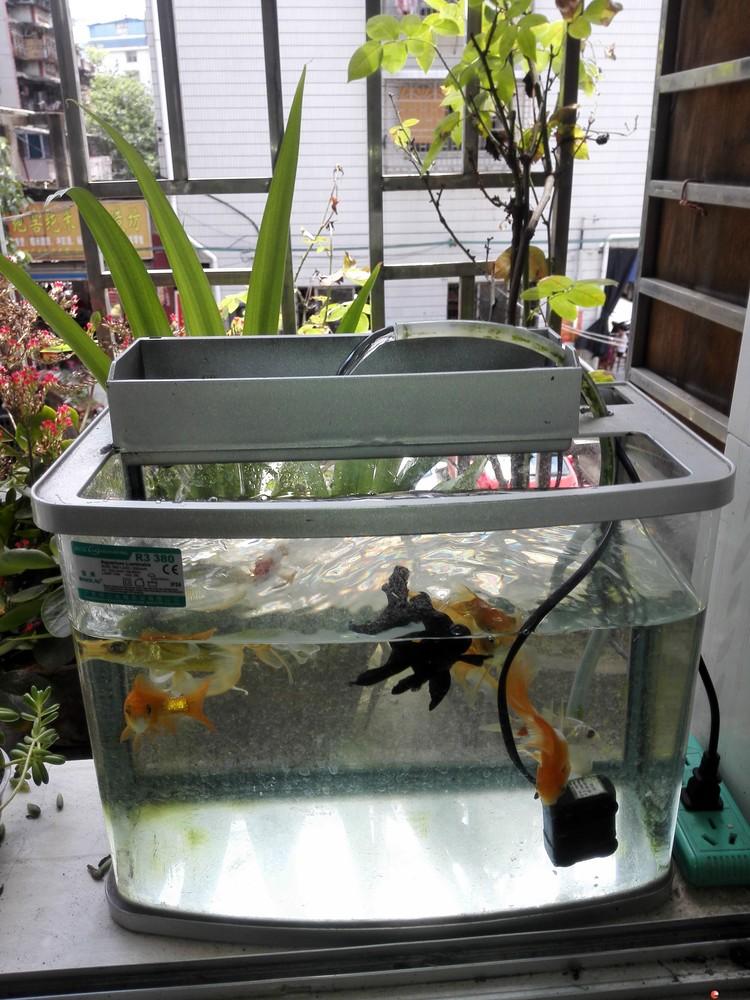 桂林市北极广场急转自养观赏鱼七条