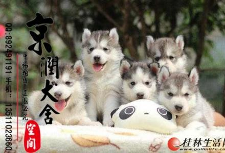 北京有卖哈士奇的吗   纯种哈士奇多少钱一只