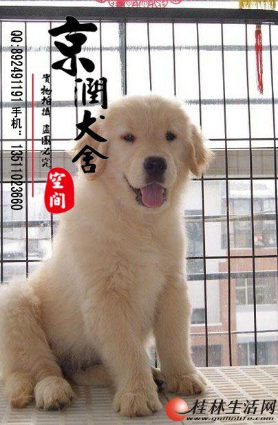 北京哪里有卖金毛的    纯种金毛多少钱一只