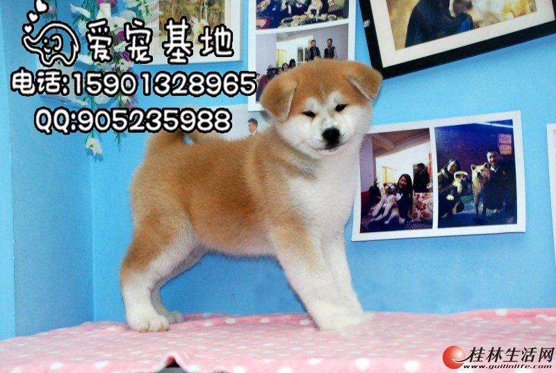 北京秋田犬多少钱一只