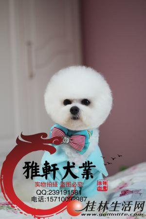 出售法国迷你比熊幼犬是很可爱的小棉花糖 卷毛纽扣眼