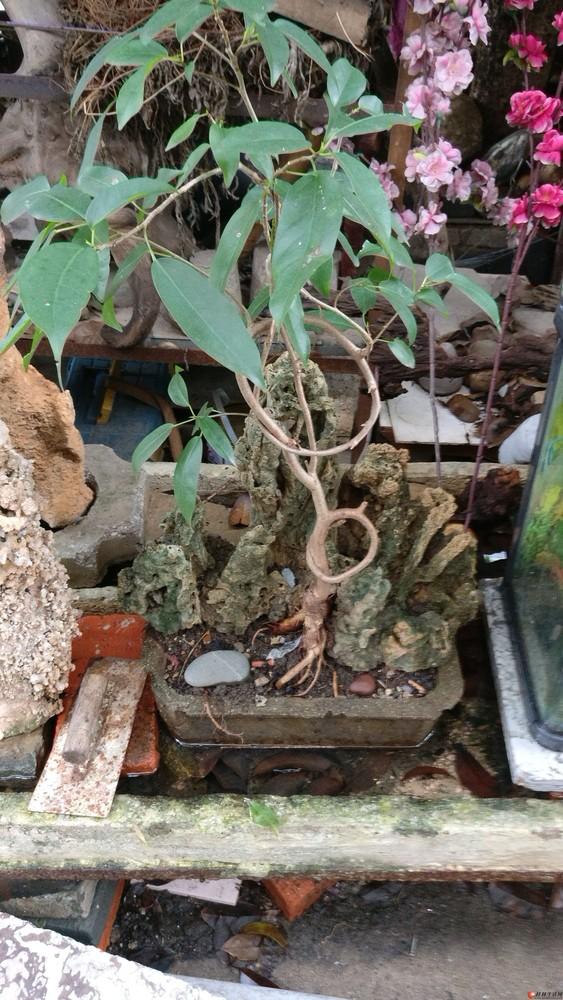 低价紧急处理一批花木、盆景、奇石、根雕