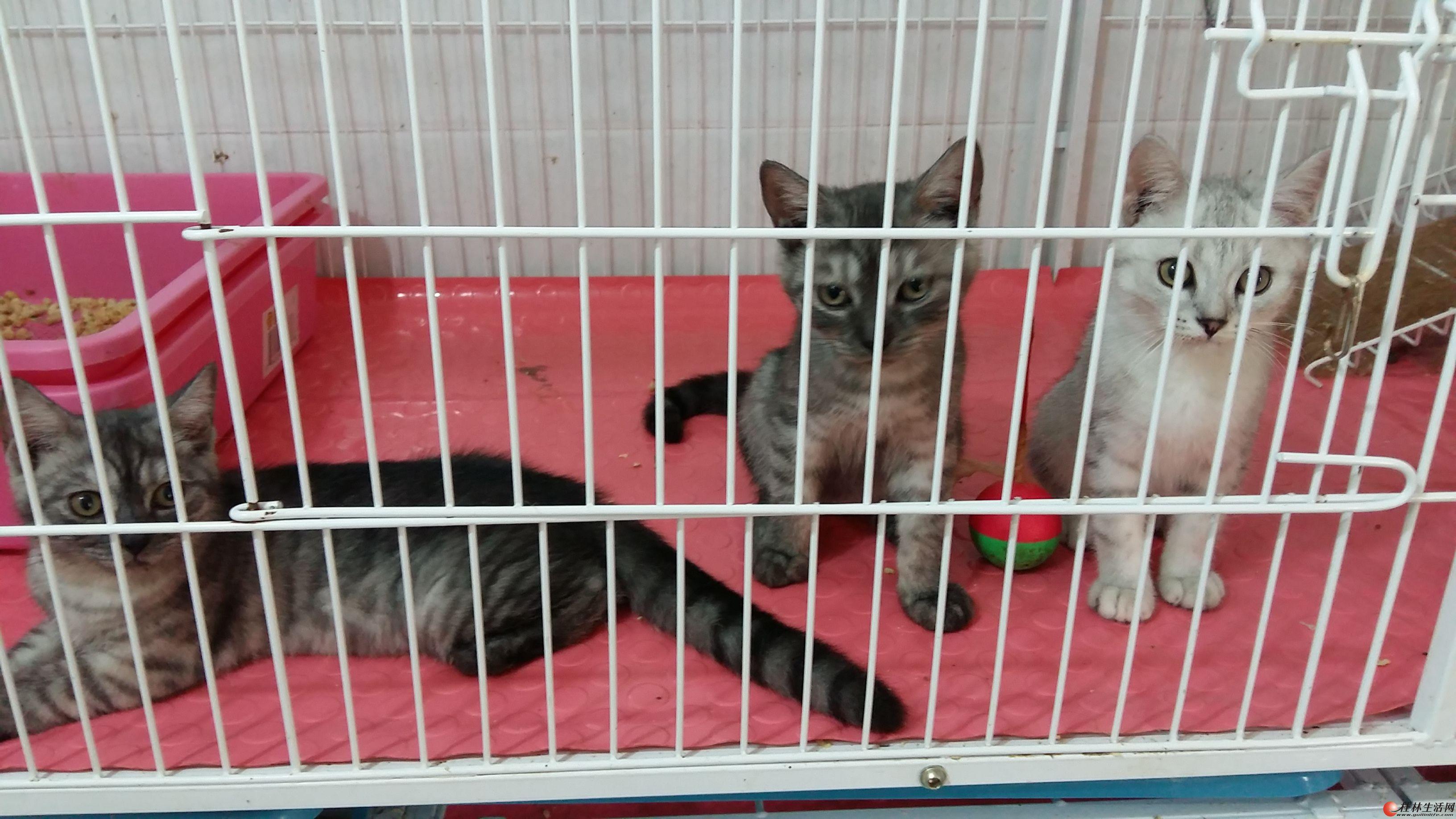家庭小猫舍处理几只猫,机会难得!每只都是500元!任选!