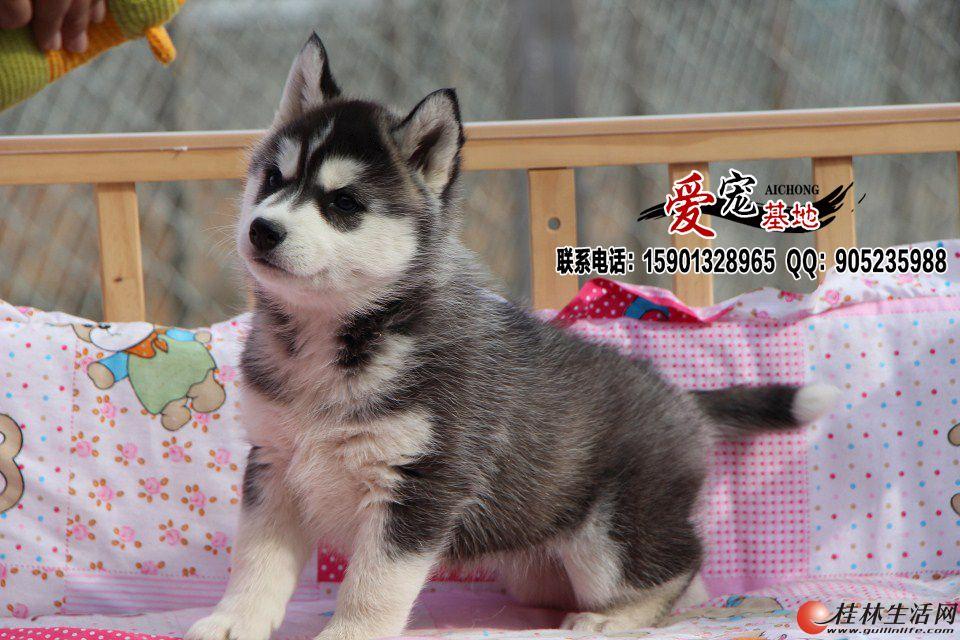 北京哪里有卖纯种哈士奇幼犬的