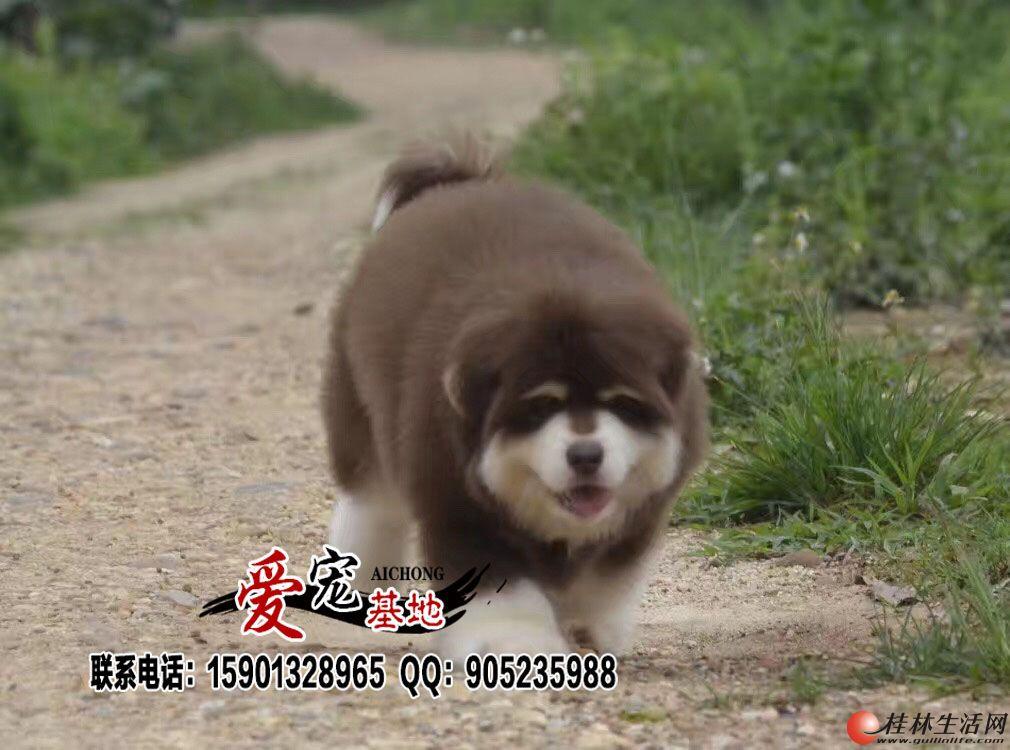 红色阿拉斯加雪橇犬多少钱一只