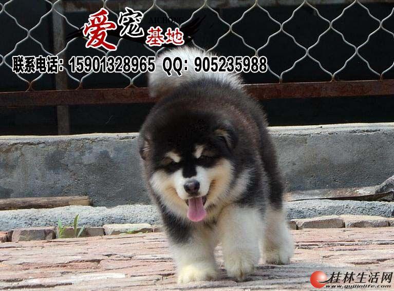 黑色阿拉斯加雪橇犬多少钱一只