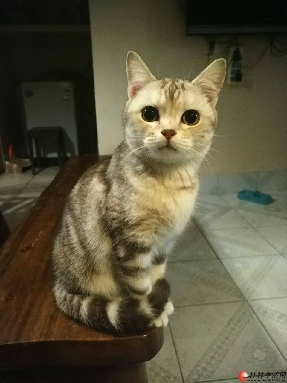咖啡色虎斑美国短毛猫