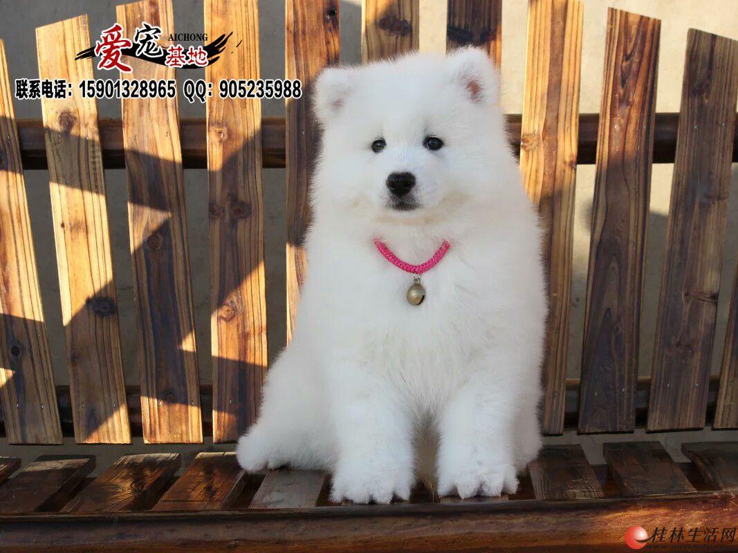 北京纯种萨摩耶犬多少钱一只
