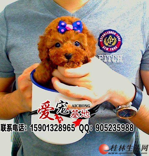 北京茶杯泰迪犬多少钱一只