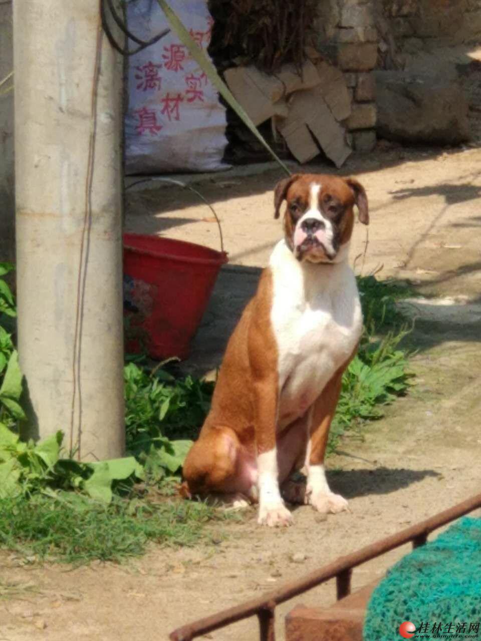 出售一对2岁公母拳师犬
