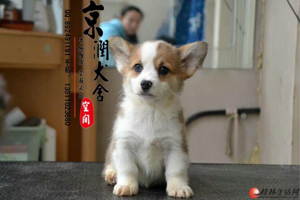 哪里有卖纯种柯基犬的     北京柯基多少钱一只