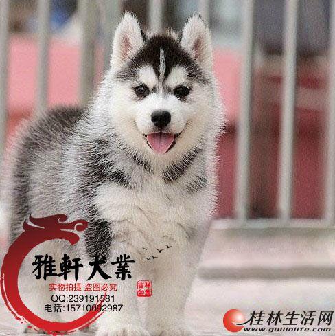 精品哈士奇幼犬/实物拍摄/包纯种/包健康/有售后服务