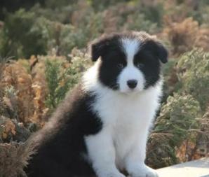 聪明勇敢边境牧羊犬幼犬出售 最忠诚伴侣边境&amp#8194