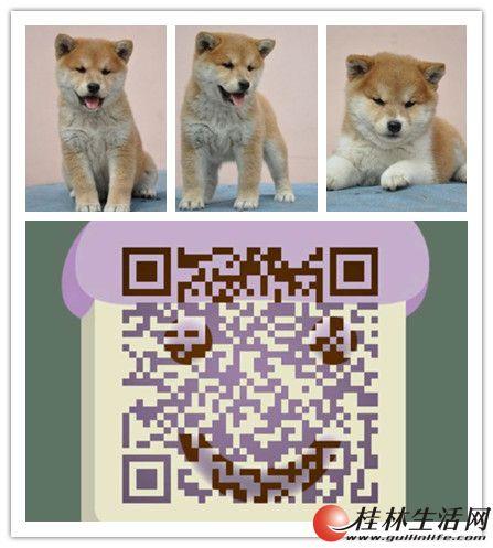 桂林哪里有柴犬出售桂林柴犬多少钱桂林纯种柴犬价格桂林柴犬好养吗