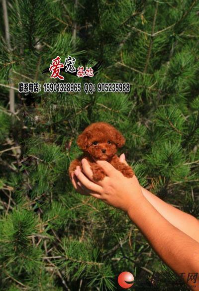 北京哪里有卖纯种泰迪幼犬的