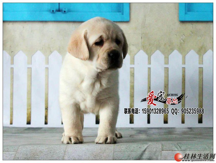 北京哪里有卖奶油色拉布拉多犬的