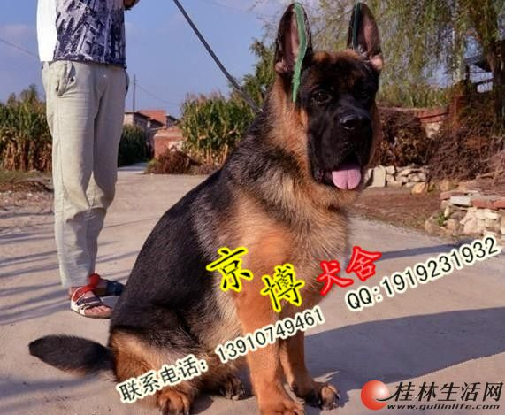 北京纯种德牧价格 北京哪里卖德牧 纯种锤系德牧犬