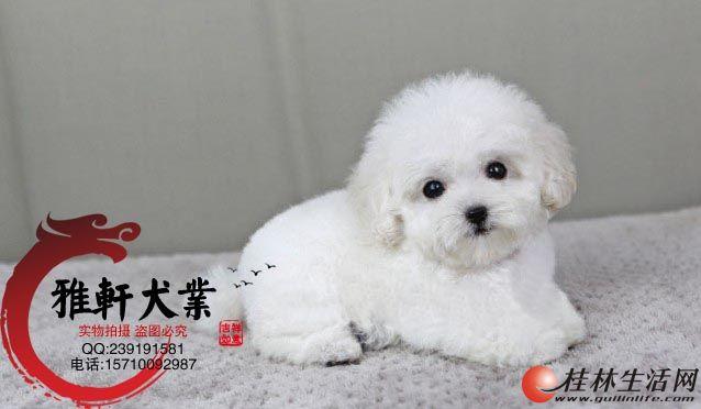 泰迪犬舍 北京泰迪犬舍 茶杯泰迪 专业繁育泰迪犬