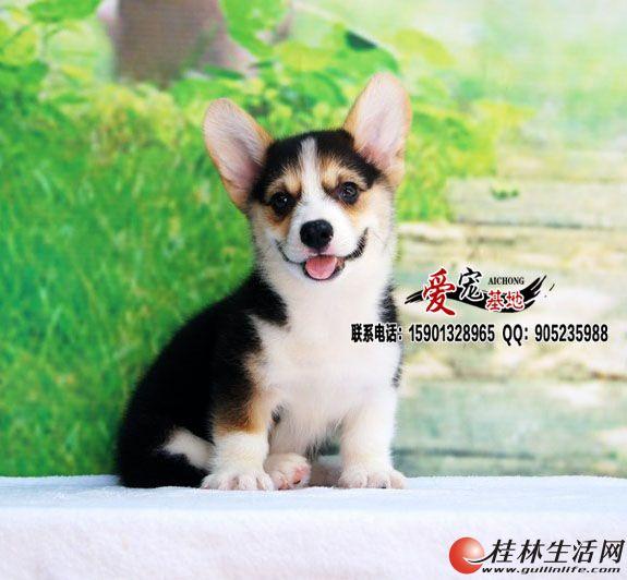 北京纯种三色柯基犬多少钱一只