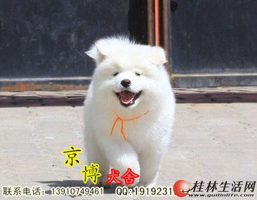 纯种萨摩耶犬价格 纯种萨摩耶犬 萨摩耶幼犬
