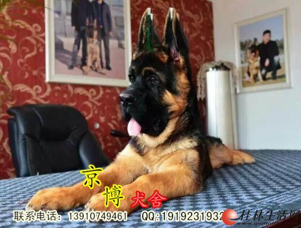 北京纯种锤系德牧价格 赛级德牧犬 纯种德牧幼犬