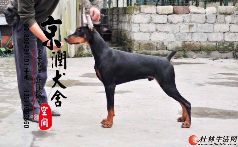纯种杜宾多少钱一只  北京杜宾多少钱一只