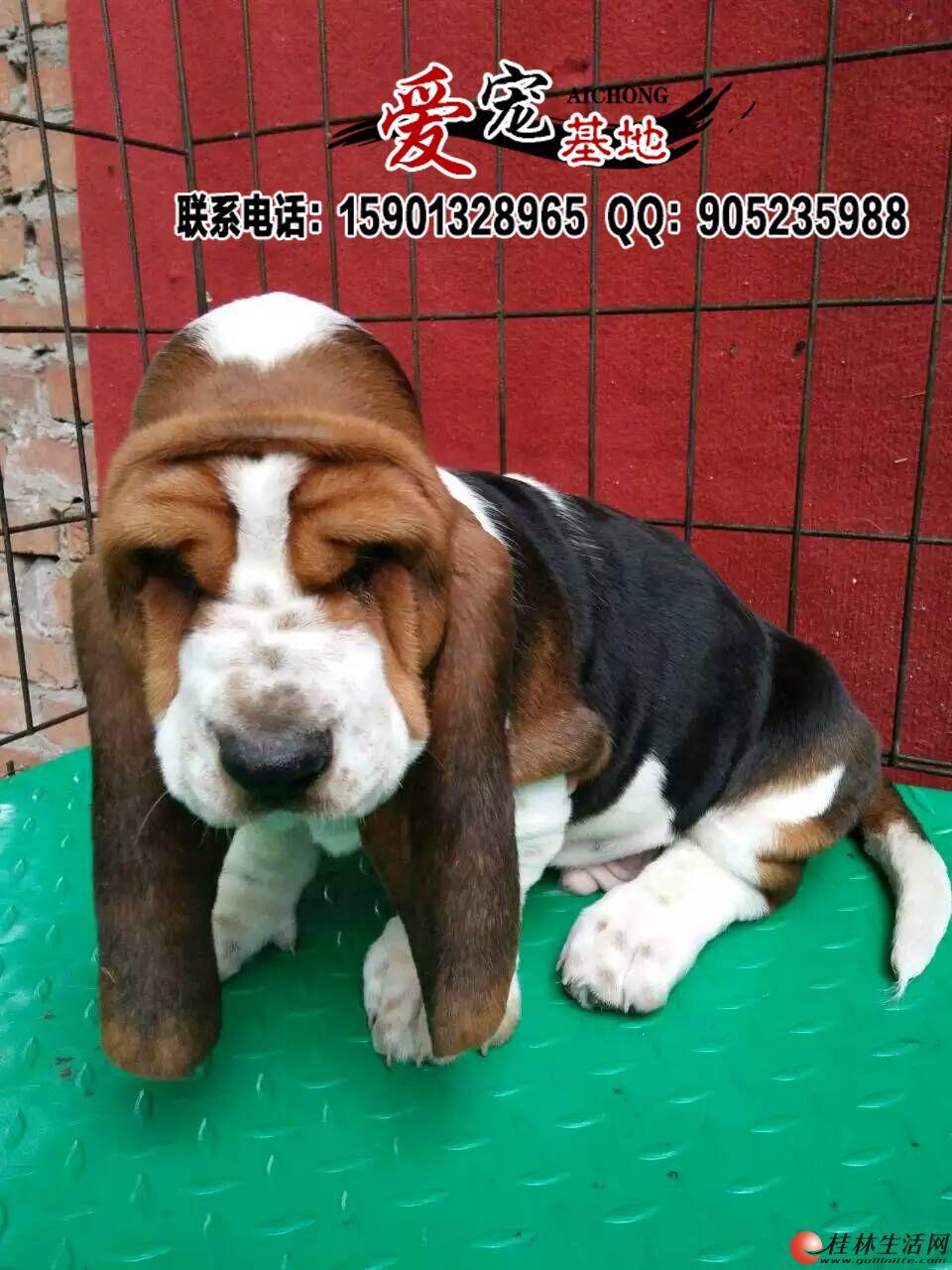 桂林纯种巴吉度幼犬多少钱一只