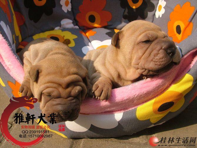 纯种沙皮幼犬出售,健壮大骨架品相好,保证纯种健康
