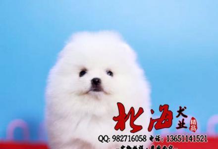 北京哪卖纯种哈多利博美犬