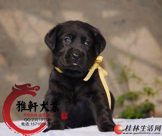 纯种健康拉布拉多犬 终身售后签协议 来场可看狗父母