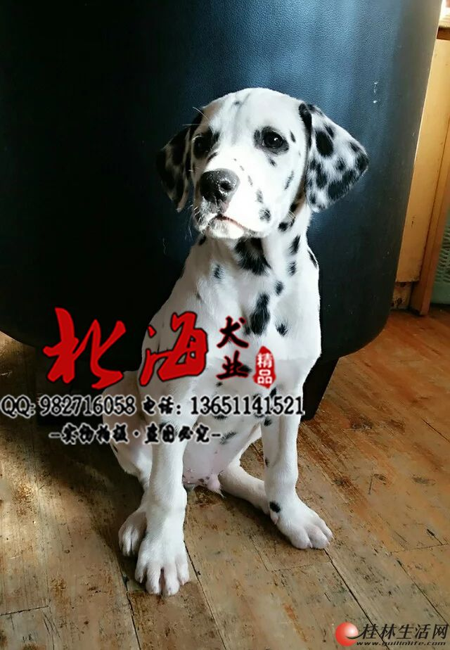 北京纯种斑点狗多少钱一只