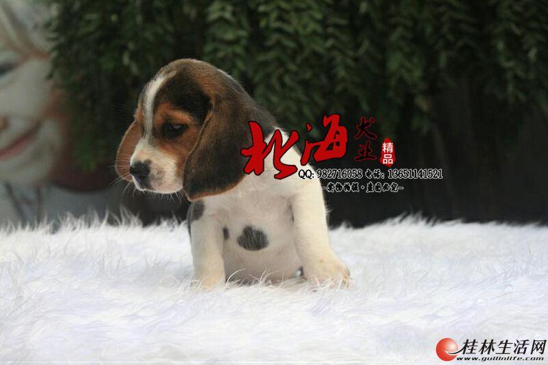 北京纯种比格犬多少钱一只