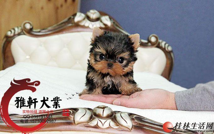 纯种金头银背蓝背约克夏幼犬----质保终身签合同?