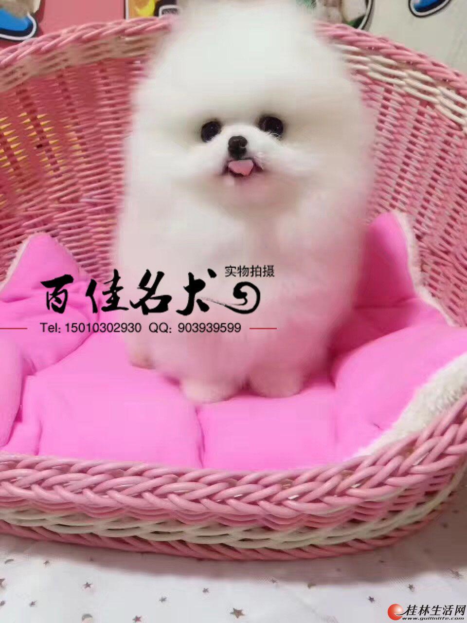 哪里卖纯种哈多利博美幼犬