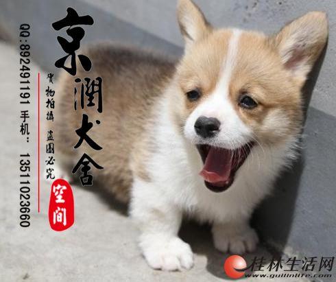 哪里有卖纯种柯基的 北京纯种柯基多少钱一只