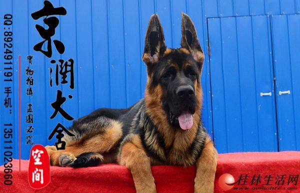 北京纯种赛级垂系德国牧羊犬多少钱一只