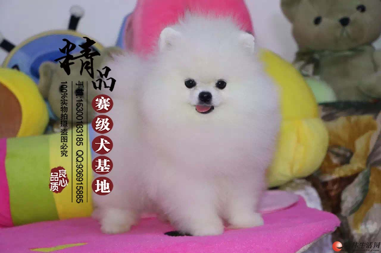 哪里有卖纯种博美幼犬   多少钱一只