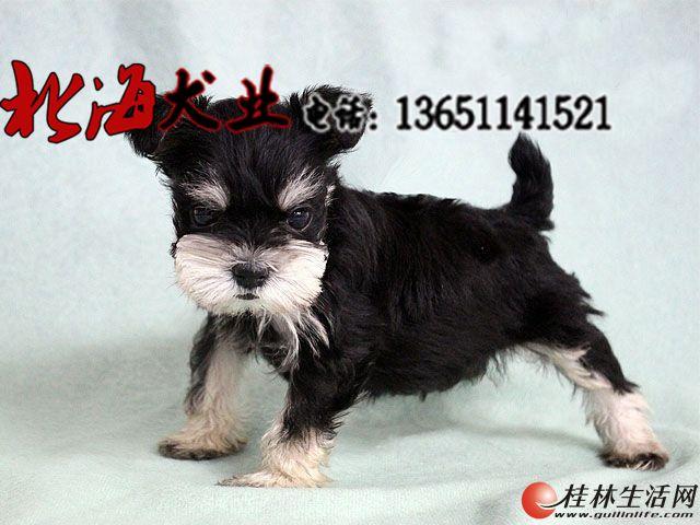 北京哪里有卖纯种雪纳瑞幼犬的
