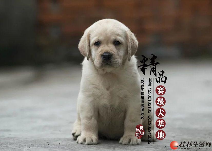 哪里有卖纯种拉布拉多幼犬   多少钱一只