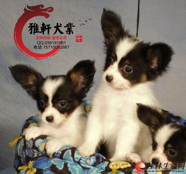 超小体蝴蝶犬宝宝出售了—喜欢的朋友可以来参观啊