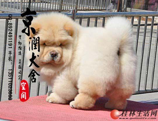 哪里有卖纯种松狮的  北京纯种松狮多少钱一只