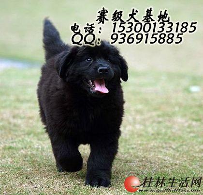 哪里有卖纯种纽芬兰幼犬  多少钱一只