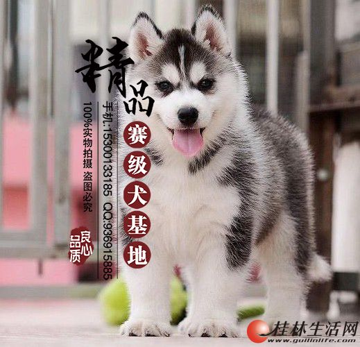 哪里有卖纯种哈士奇幼犬多少钱一只