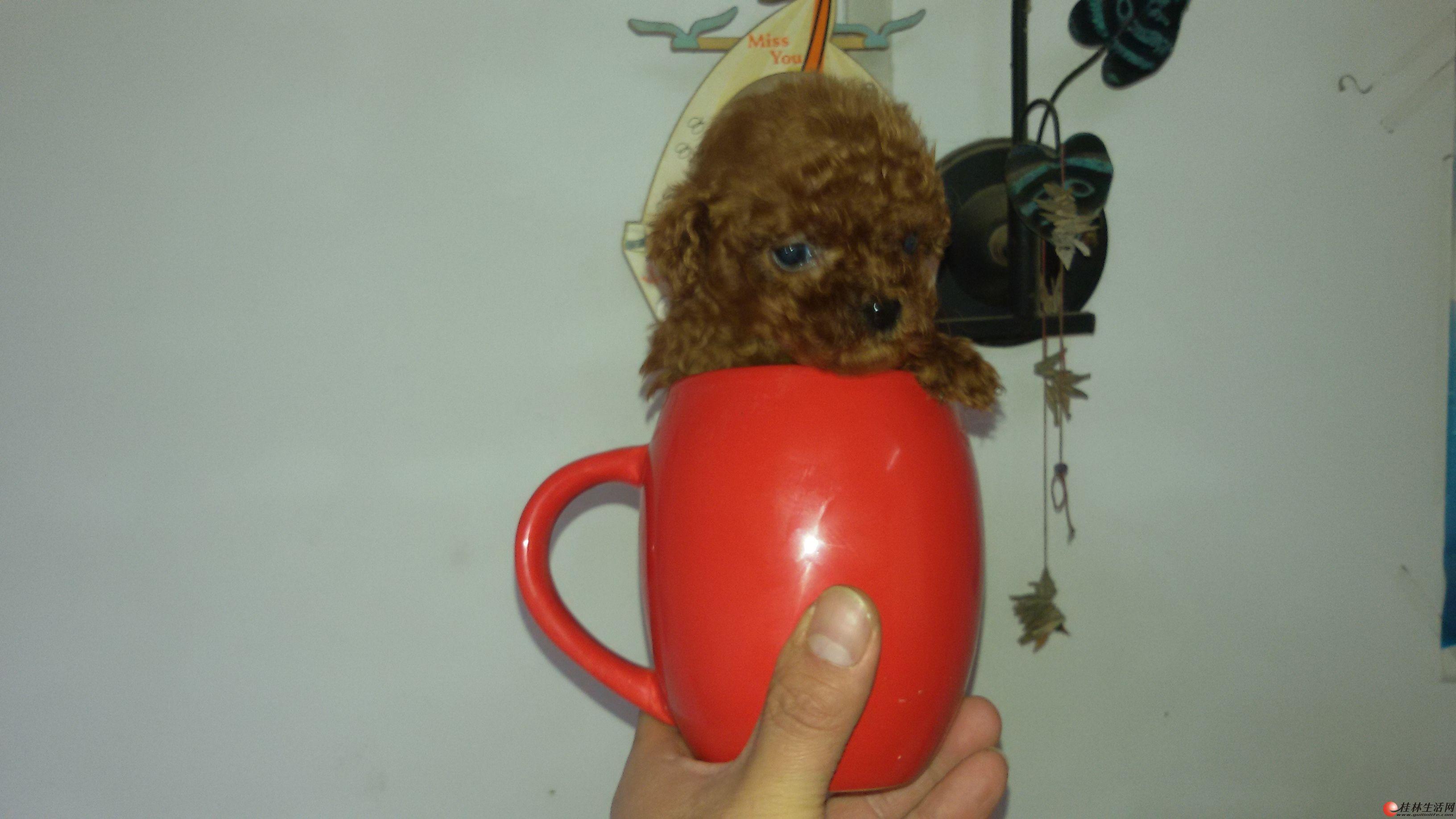 高品质韩版苹果头短嘴微小玩具型泰迪熊宝宝1公1母出售