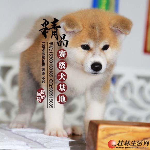 哪里出售纯种秋田犬  多少钱一只