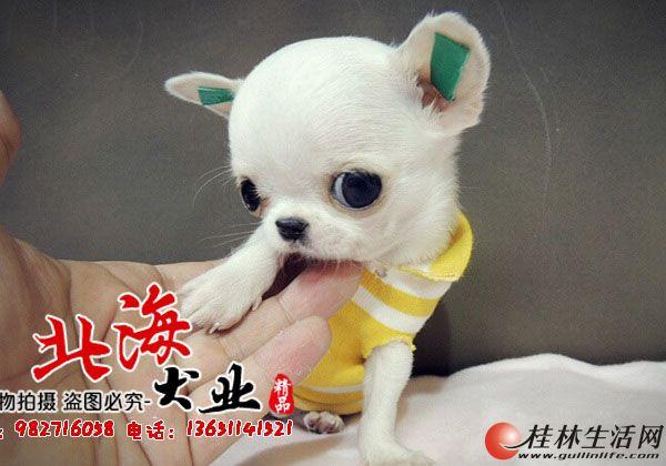 北京纯种吉娃娃多少钱一只
