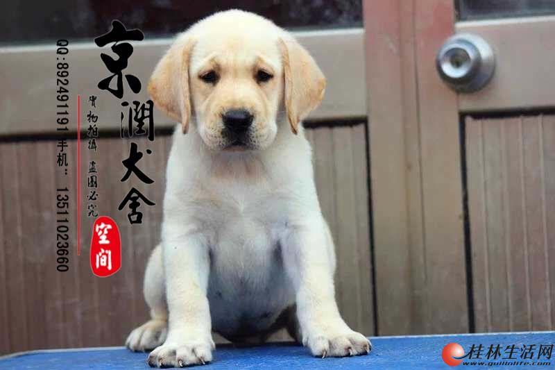 纯种导盲犬拉不拉多多少钱一只  哪里有卖纯种拉不拉多的