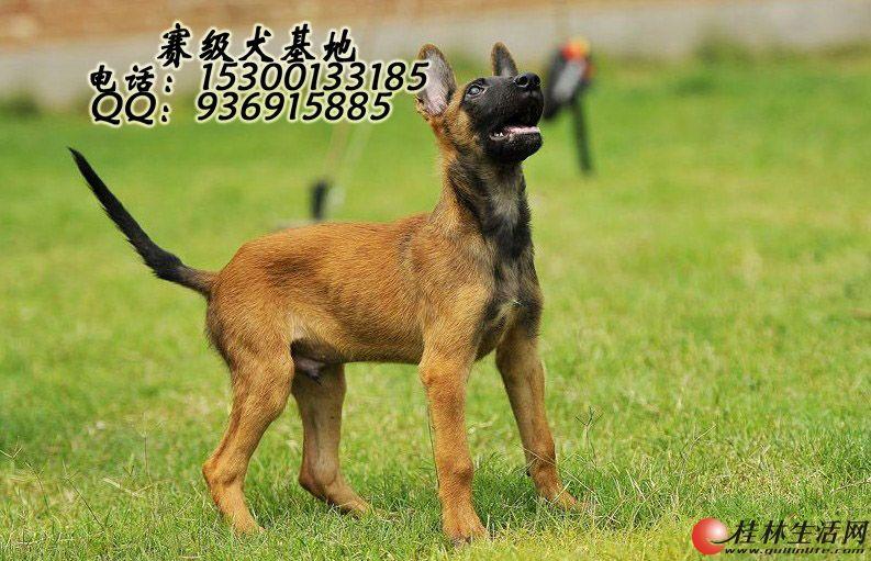 哪里出售纯种马犬是什么价格
